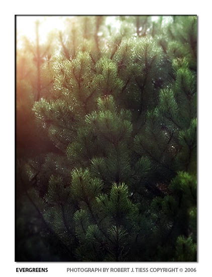 Evergreens - By Robert J. Tiess