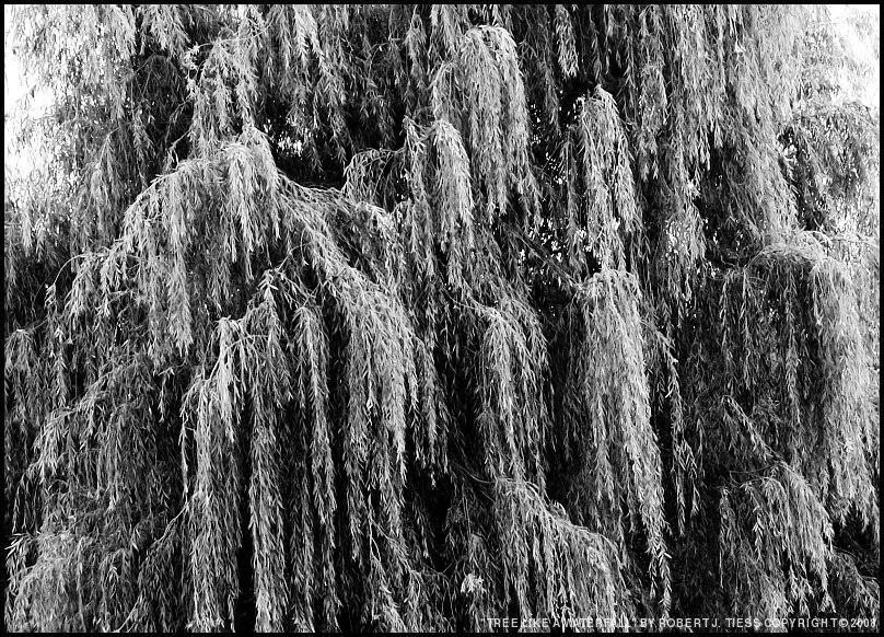 Tree Like a Waterfall - By Robert J. Tiess